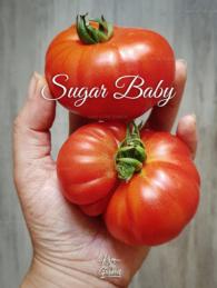 18-Sugar-Baby0