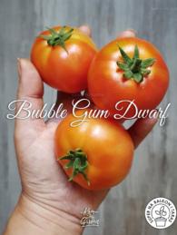 51-bubble-gum-dwarf0
